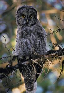 Great Gray Owl-124