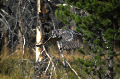 Great Gray Owl-158