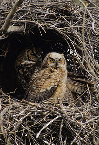 Great Horned Owl-192