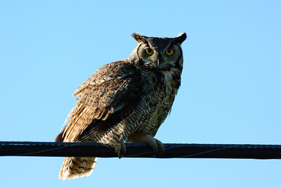 Great Horned Owl-277