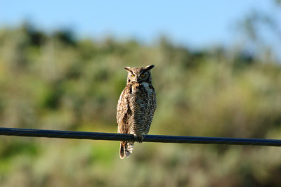 Great Horned Owl-303