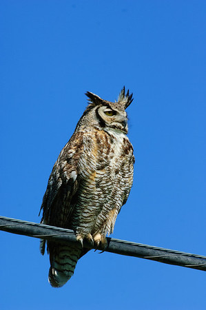 Great Horned Owl-335