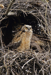 Great Horned Owl-191