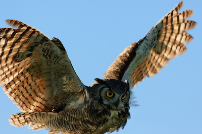Great Horned Owl-270