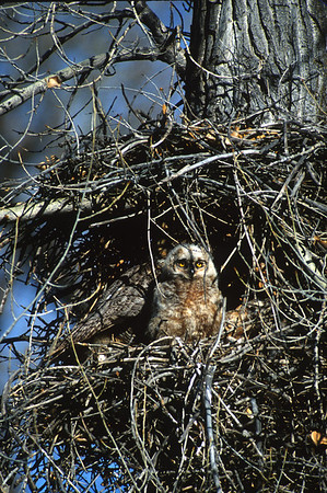 Great Horned Owl-165