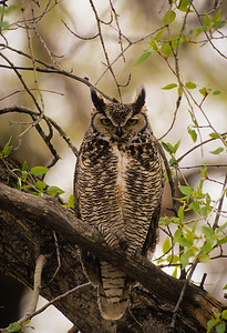 Great Horned Owl-195