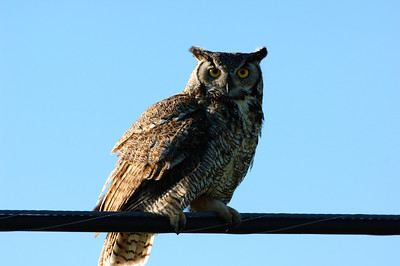 Great Horned Owl-276