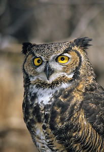 Great Horned Owl-157