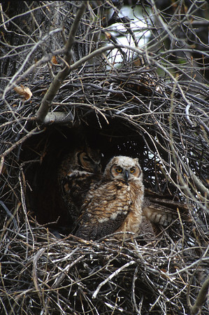 Great Horned Owl-170