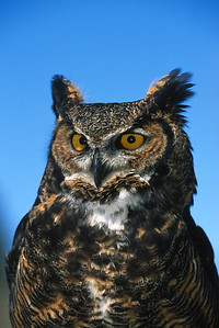 Great Horned Owl-155
