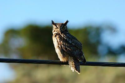 Great Horned Owl-258