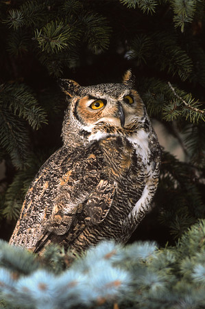 Great Horned Owl-116