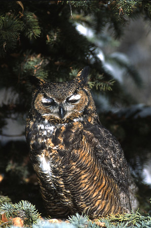 Great Horned Owl-129