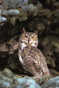 Great Horned Owl-109