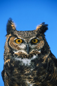 Great Horned Owl-152