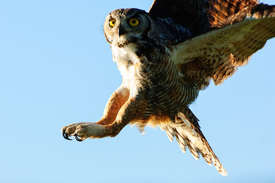 Great Horned Owl-268