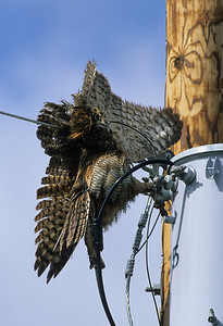 Great Horned Owl-162