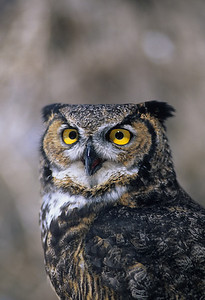 Great Horned Owl-159