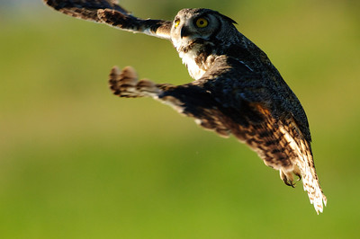 Great Horned Owl-266