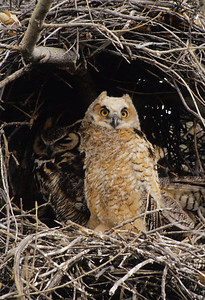 Great Horned Owl-194