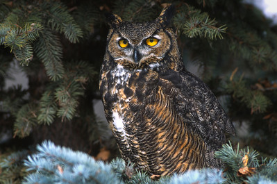 Great Horned Owl-139