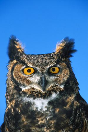Great Horned Owl-154