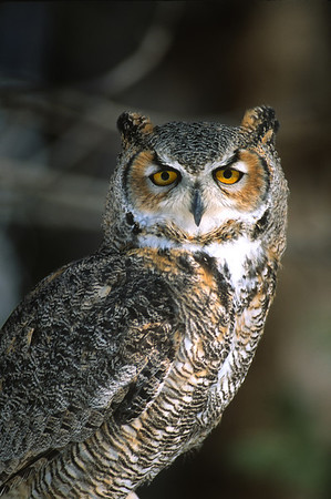 Great Horned Owl-112