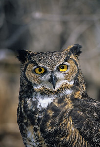 Great Horned Owl-156