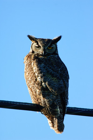 Great Horned Owl-214