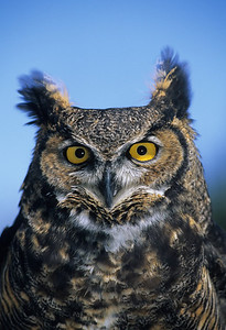 Great Horned Owl-150