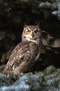 Great Horned Owl-114