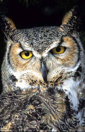 Great Horned Owl-105
