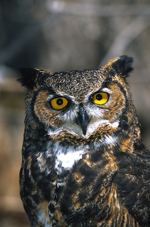 Great Horned Owl-143