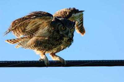 Great Horned Owl-272