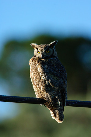 Great Horned Owl-219