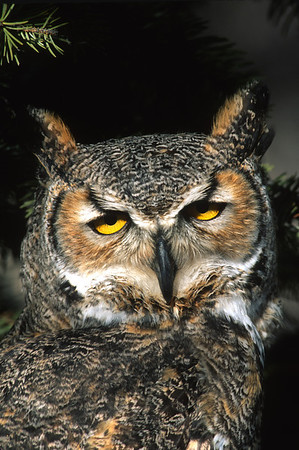 Great Horned Owl-107