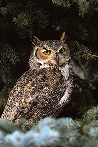 Great Horned Owl-115