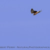Circus cyaneus FEMALE northern harrier in flight 2018 02-10 Woodland--005