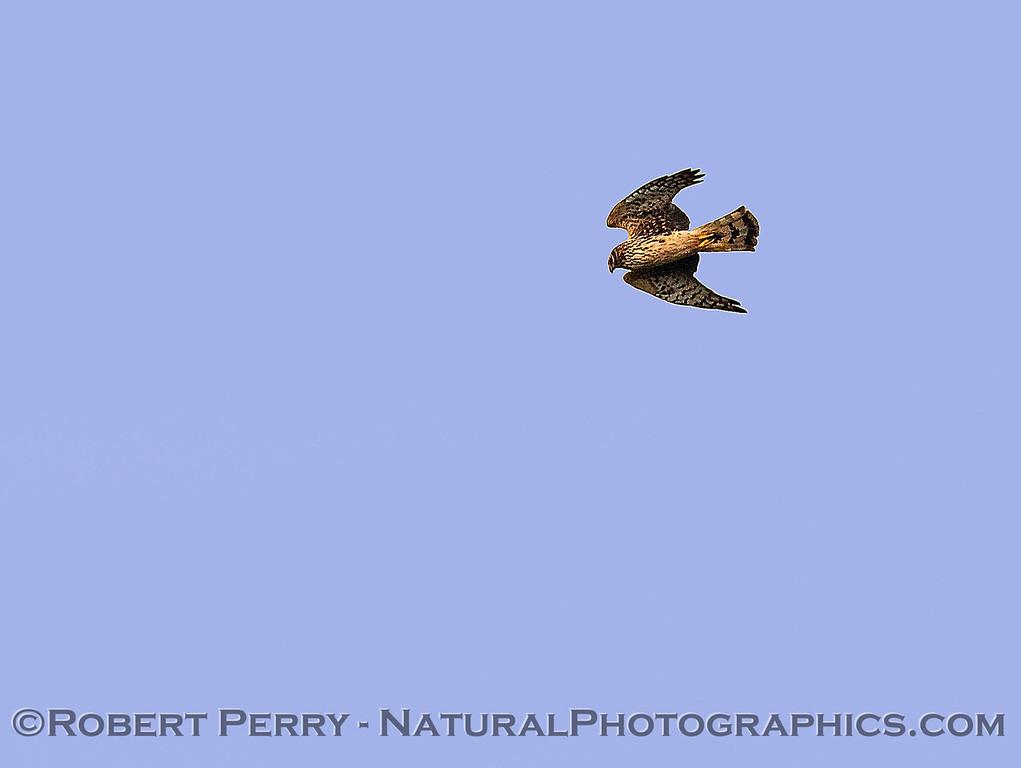 Circus cyaneus FEMALE northern harrier in flight 2018 02-10 Woodland--003