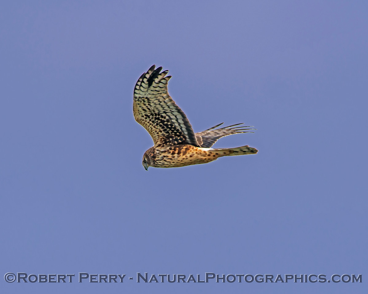 Circus cyaneus Northern Harrier in flight 2018 01-26 Sacramento NWR--015