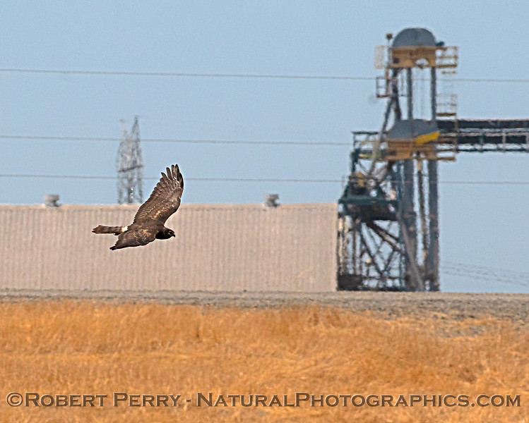 Circus cyaneus in flight 2018 07-12 Yolo ByPass -c- 0012