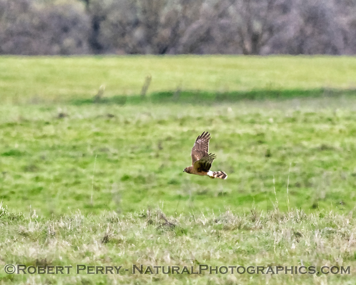 Circus cyaneus Northern harrier female hunting 2018 03-18 Meiss Rd--014