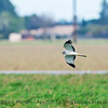 Circus cyaneus MALE northern harrier in flight 2018 02-10 Woodland--010