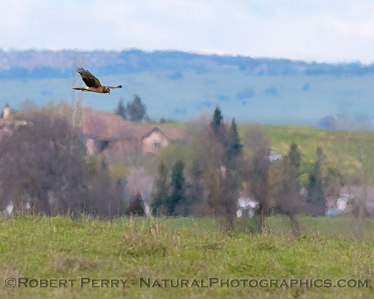 Circus cyaneus Northern harrier female hunting 2018 03-18 Meiss Rd--061