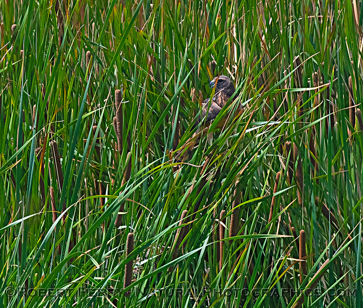 Circus cyaneus perched in reeds 2018 07-12 Yolo ByPass -c- 0112