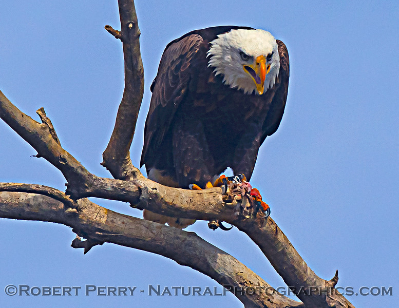 Haliaeetus leucocephalus Bald eagle feeding 2020 12-30 Sac NWR--584