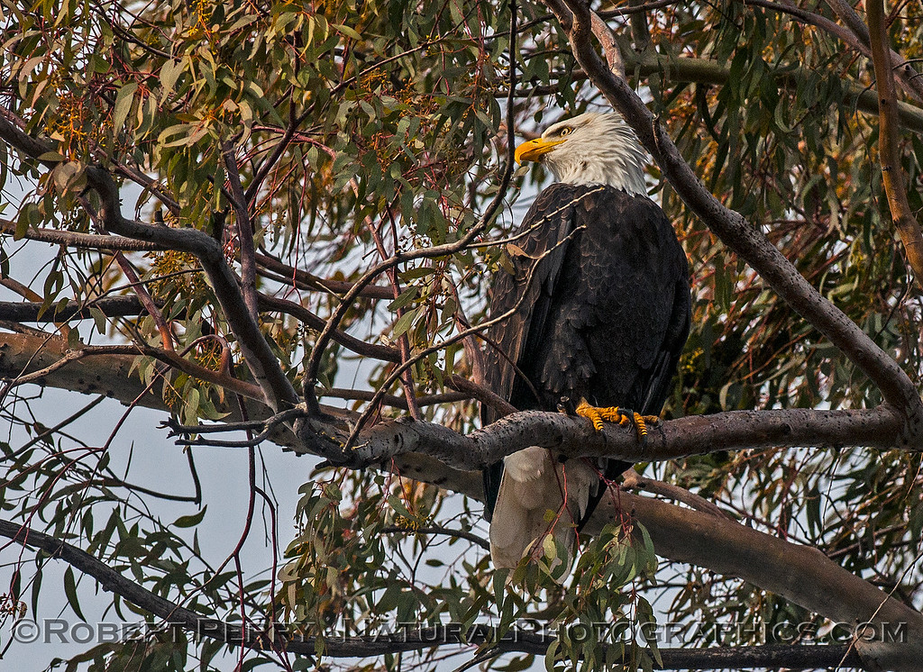 Haliaeetus leucocephalus adult bald eagle in tree 2017 01-06 -Sacramento NWR - 093
