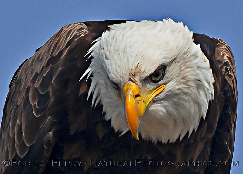 Haliaeetus leucocephalus Bald eagle head CLOSE 2020 12-30 Sac NWR--944