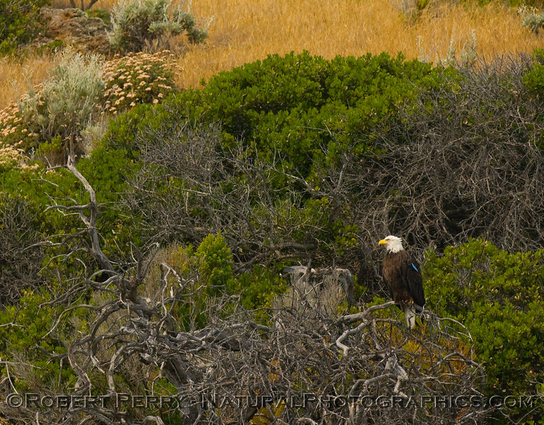 Another tagged bald eagle sits on a small tree overlooking the ocean, Santa Cruz Island.  Image 1 of 2.
