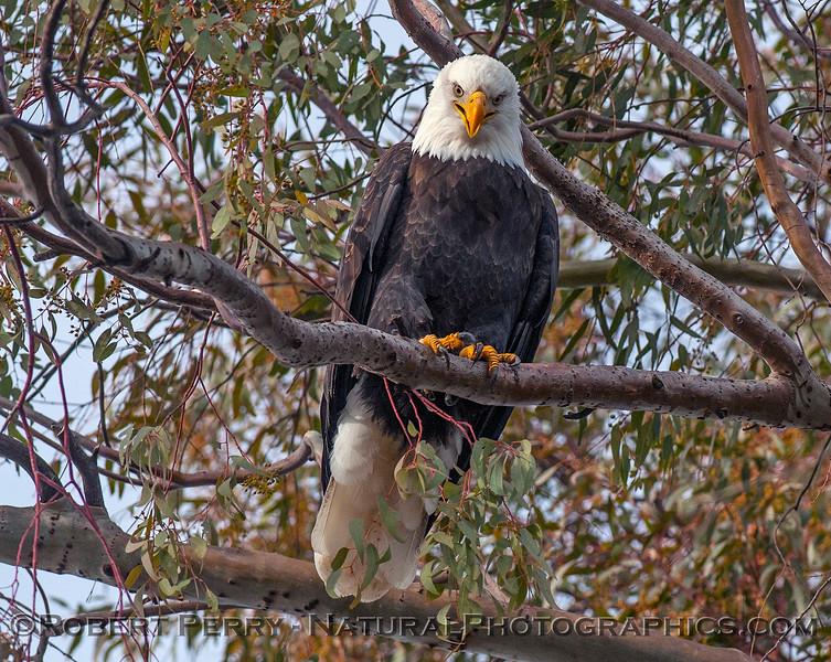 Haliaeetus leucocephalus adult bald eagle in tree 2017 01-06 -Sacramento NWR - 048